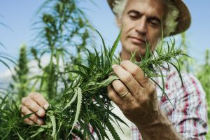 organically grown hemp, hemp farm, hemp cultivation